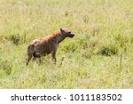 the spotted hyena  crocuta... | Shutterstock . vector #1011183502