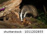 badger  wild  native  european... | Shutterstock . vector #1011202855