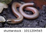 Small photo of Cute slow worm