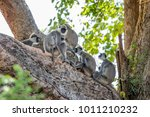 a family of tufted gray langurs ... | Shutterstock . vector #1011210232