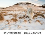 typical icelandic hairy horse... | Shutterstock . vector #1011256405