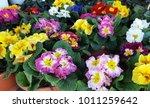 perennial primrose or primula... | Shutterstock . vector #1011259642