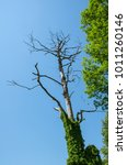 Small photo of Dried out dead tree trunk abound of green vegetation on sunny clear blue sky