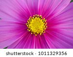 close up cosmos flower . | Shutterstock . vector #1011329356