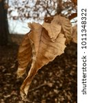 Small photo of Senescence of beech tree leaves in the winter forest