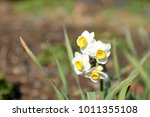 narcissus flower image | Shutterstock . vector #1011355108
