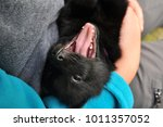 little black schipperke puppy... | Shutterstock . vector #1011357052