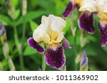 colorful iris flowers outdoor | Shutterstock . vector #1011365902