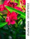 Beautiful Oleander Flowers