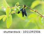 berries honeysuckle on branch | Shutterstock . vector #1011392506