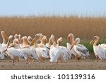 a group of pelicans in the... | Shutterstock . vector #101139316