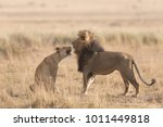 male and female of lion are...   Shutterstock . vector #1011449818