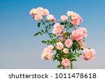 pink rose flowers on beautiful... | Shutterstock . vector #1011478618