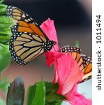 Two Monarch Butterflies On A...