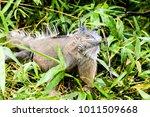 big lizard in costa rica | Shutterstock . vector #1011509668