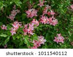 pink rhodonendron blooms in the ... | Shutterstock . vector #1011540112