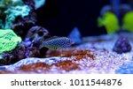 leopard wrasse saltwater fish | Shutterstock . vector #1011544876