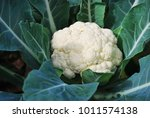 Cauliflower Growing In The Field