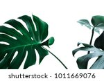 real monstera leaves decorating ...   Shutterstock . vector #1011669076