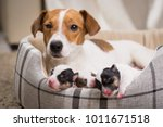 Stock photo the dog feeds the puppies of the newborn breed jack russell terrier age six days 1011671518