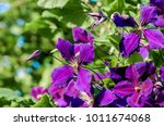 Large Flowered Clematis ...
