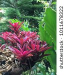 Small photo of Aechmea fasciata (Urn Plant) in garden