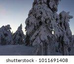 Spruce Trees Under Heavy Snow...