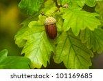 Fruit Of An Oak Tree Ripe In...