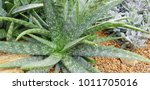 aloe vera is a tropical plant.... | Shutterstock . vector #1011705016