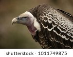 Ruppell Griffon Vulture  Gyps...