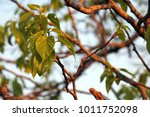 Green Foliage Cluster Of...