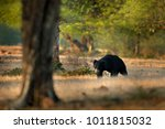 wild sloth bear in nature... | Shutterstock . vector #1011815032