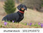 dog german haired dachshund in... | Shutterstock . vector #1011910372