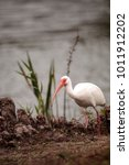 Small photo of American White ibis Eudocimus albus forages for food in a marsh at Lakes Park in Fort Myers, Florida