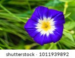 Small photo of Large funnel-shaped blue morning glory flower close-up. Natural plant background with limited depth of field.