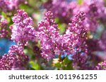 spring. flowering time of lilac.... | Shutterstock . vector #1011961255
