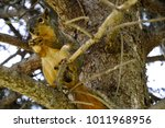 Fox Squirrel Sitting On Tree...