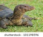 Closeup of monitor lizard - Varanus on green grass focus on the varanus eye. - stock photo