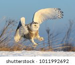 Snowy Owl Taking Off From Snow...