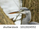 a head shot of a stunning  grey ... | Shutterstock . vector #1012024552
