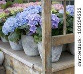 Hydrangea. Flower In Flower S...