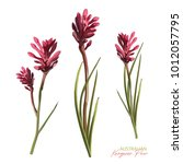 flowering anigozanthos pink... | Shutterstock .eps vector #1012057795