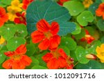 Orange Bloomed Nasturtium In...