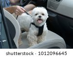 small dog maltese in a car  his ... | Shutterstock . vector #1012096645