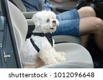 small dog maltese in a car his... | Shutterstock . vector #1012096648