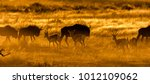 springbok walking past...   Shutterstock . vector #1012109062