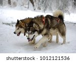 sledge dogs in the snowy winter | Shutterstock . vector #1012121536