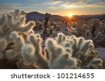 Chollas Cactus Sunrise Joshua...