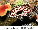 Spotted Sweetlips Fish