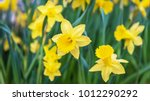 amazing yellow daffodils flower ... | Shutterstock . vector #1012290292